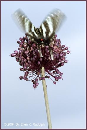 Yorktown Onion - Allium ampeloprasum