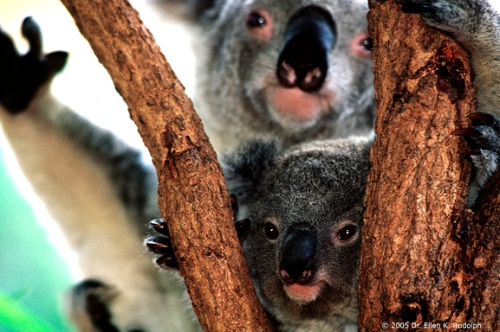 Baby Koala and Mother - Phascolarctos cinereus
