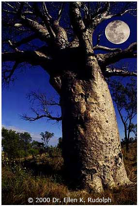 Australian scene - Boab Tree with moon