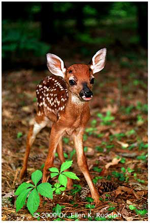 White-tailed Fawn in Virginia